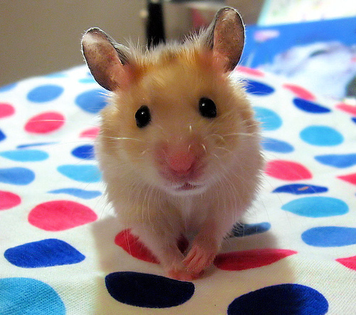 hamster-pictures-39